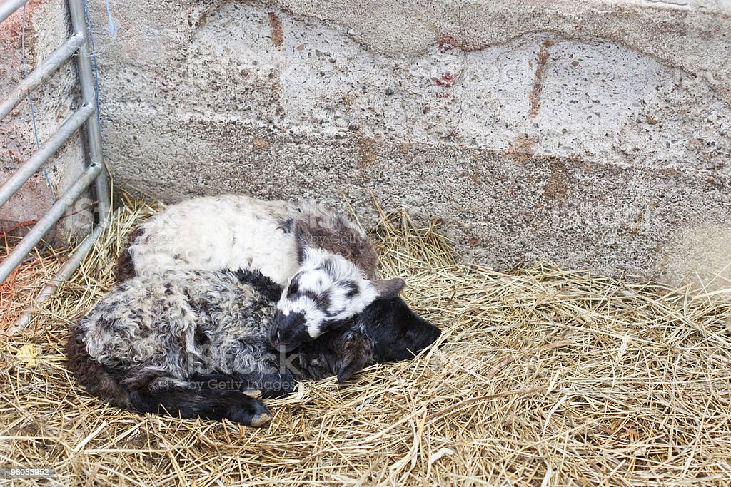 two newborn lambs curled together sleeping royalty-free stock photo