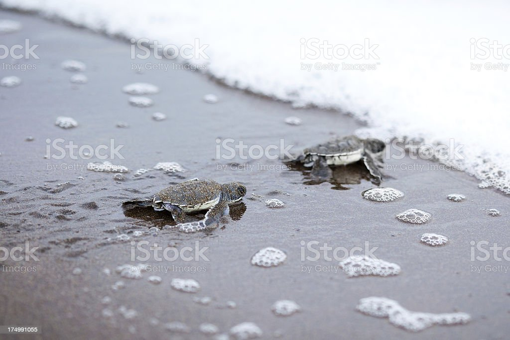 Two newly hatched turtles on their way into the ocean stock photo