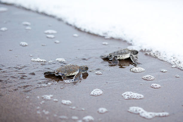 Two newly hatched turtles on their way into the ocean baby turtles at the beach of Tortuguero National ParkFIND MANY OTHER NATURE IMAGES IN: limoen stock pictures, royalty-free photos & images