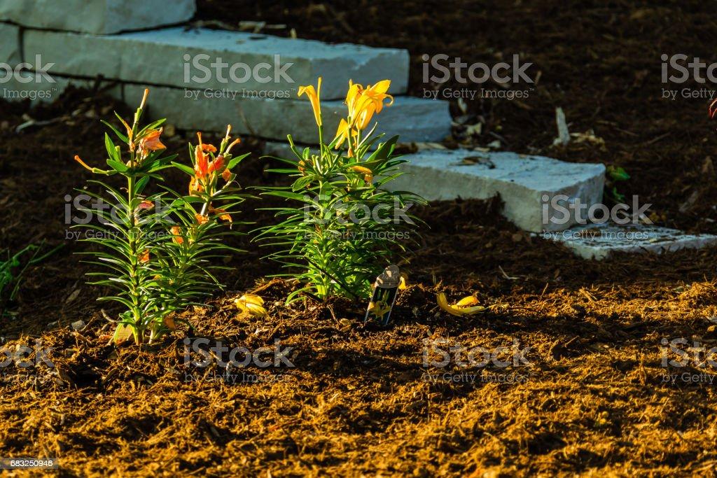 兩種新種的百合花為花園增添色彩 免版稅 stock photo