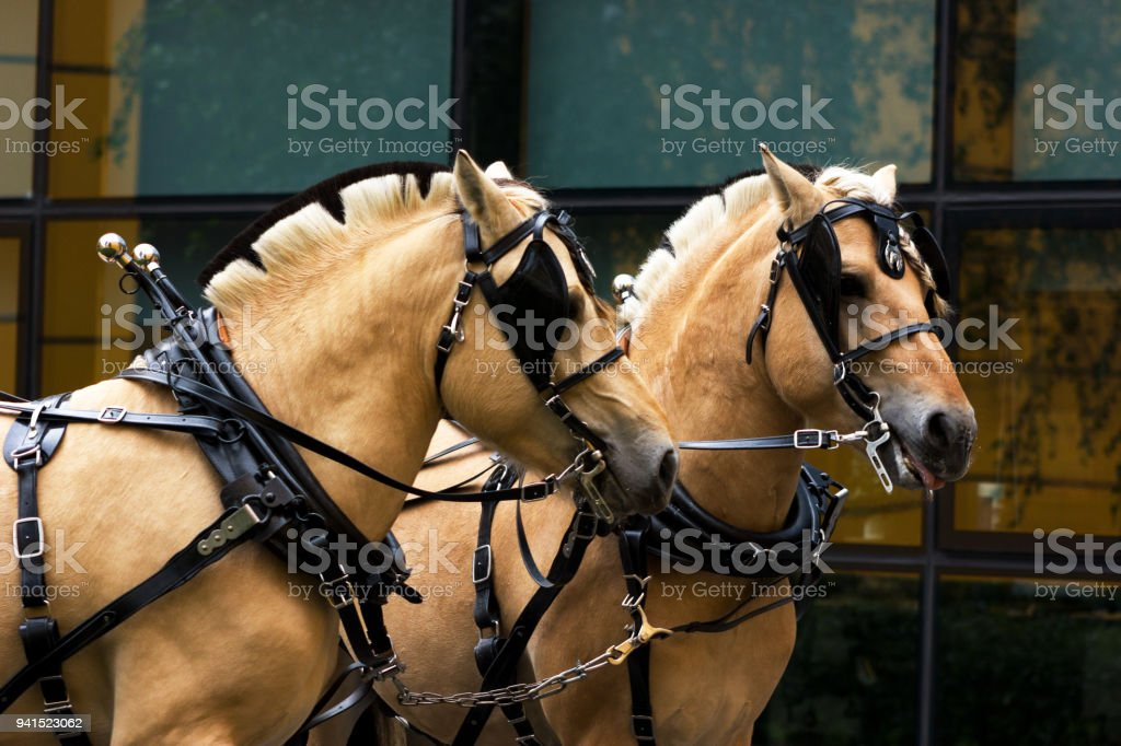 Two norwegian fjord males in blinkers stock photo