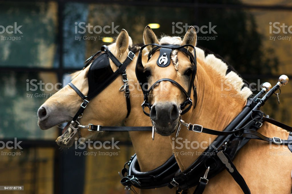 Two norwegian fjord males in blinkers staying outdoor stock photo