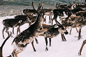 Two Norwegian reindeer fighting in a snow patch with their herd nearby