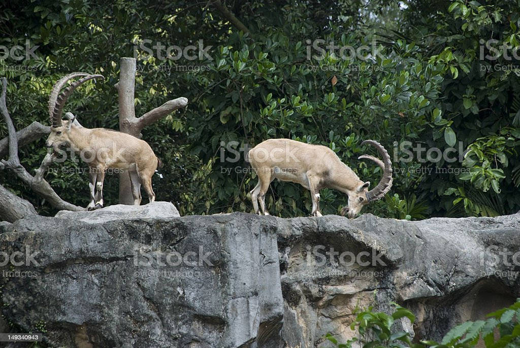 two nubian ibexes stock photo