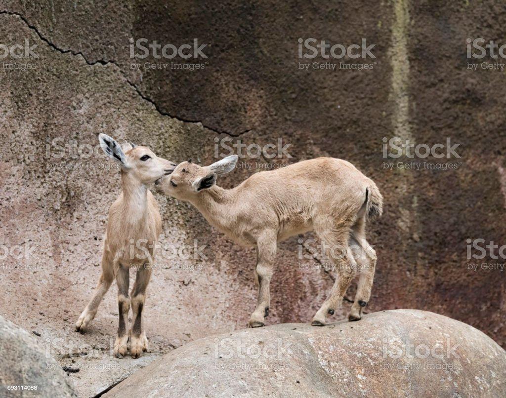 Two nuzzling Nubian Ibex calves stock photo