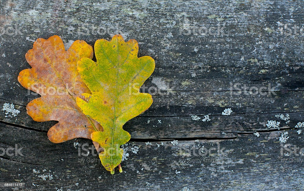 two oak leaf on wooden surface stock photo