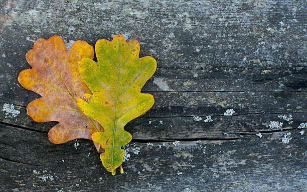 two oak leaf on wooden surface - eichenblatt stock-fotos und bilder
