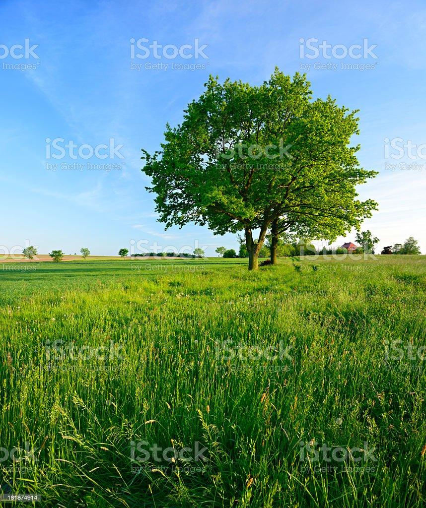 Two Oak Trees in Spring Field Landscape stock photo