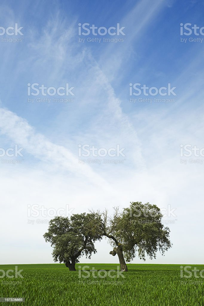 Two oaks royalty-free stock photo