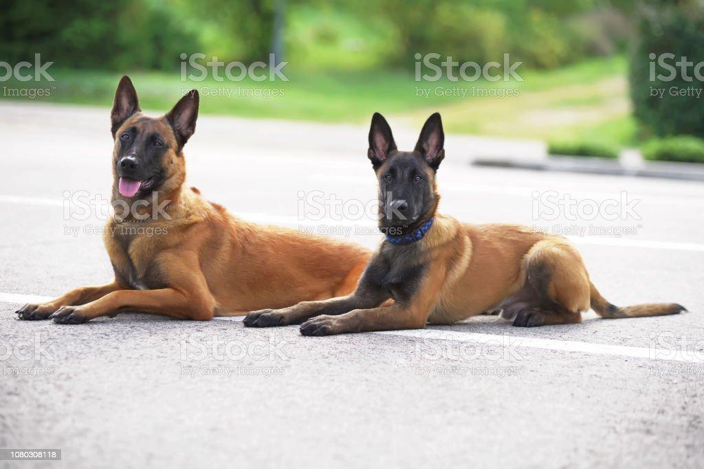 belgischer schäferhund kaufen