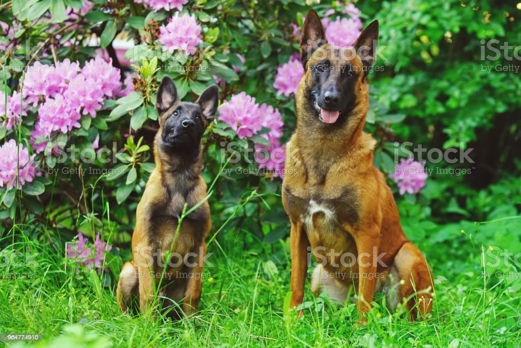 Two obedient Belgian Shepherd Malinois dogs (puppy and adult) sitting outdoors on a green grass near to a rhododendron bush with flowers royalty-free stock photo
