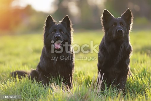 Two obedient long-haired black German Shepherd dogs sitting together in a green grass posing on sunset