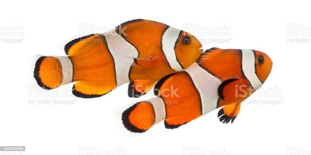Two Ocellaris clownfish, Amphiprion ocellaris, isolated on white stock photo