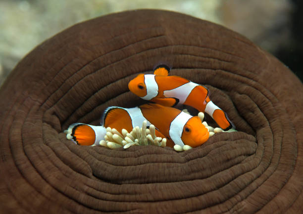 Two ocellaris clownfish waiting for opening stock photo
