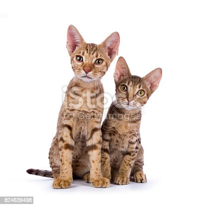 824824466 istock photo Two Ocicat kittens sitting isolated on white background 824639498