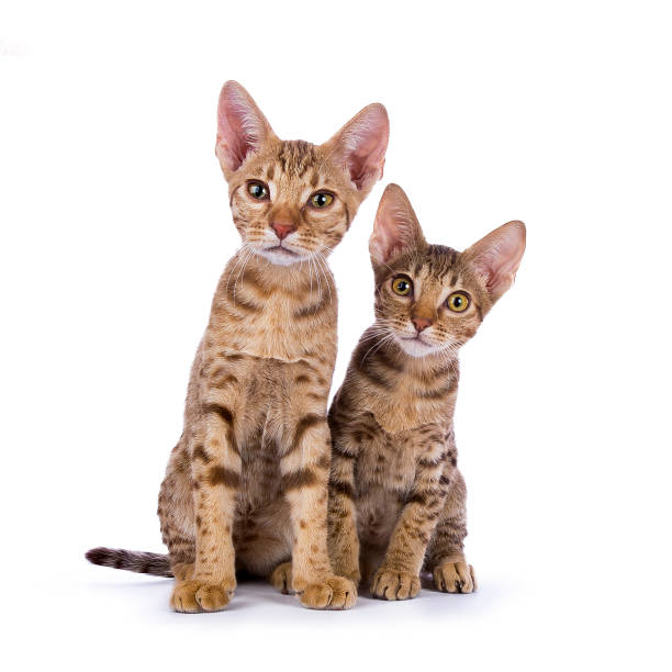 due gattini ocicat seduti isolati su sfondo bianco - ocicat foto e immagini stock