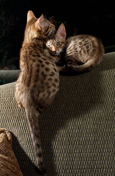 due ocicats comodo mentre una winks alla macchina fotografica - ocicat foto e immagini stock