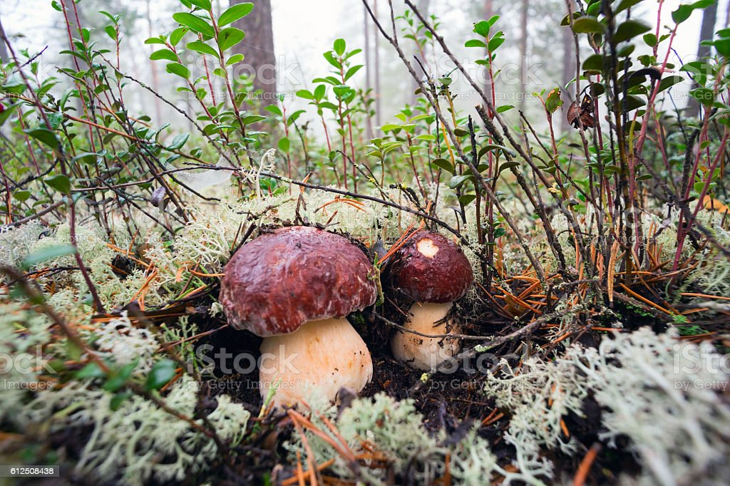Two of the mushroom hiding under the moss stock photo