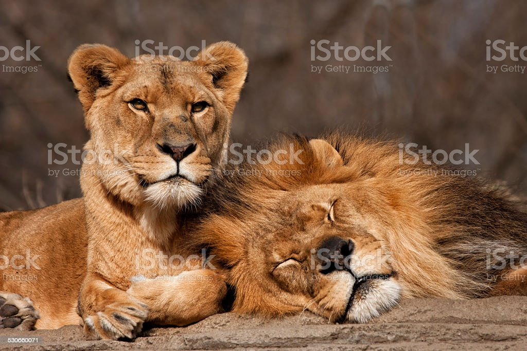 Two Old Lion Friends stock photo