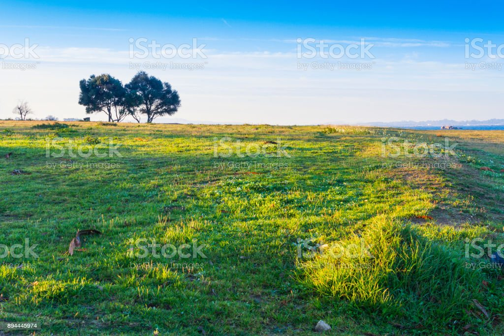 Two olive trees royalty-free stock photo