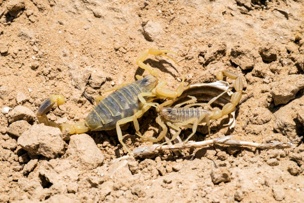 Two Omdurman scorpions find out the relationship (Leiurus quinquestriatus) Two Omdurman scorpions find out the relationship (Leiurus quinquestriatus) omdurman stock pictures, royalty-free photos & images