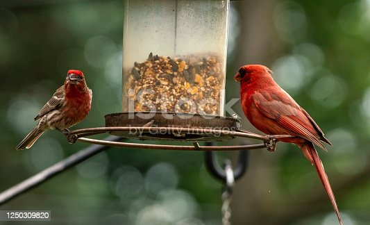 House Finch and Northern Cardinal on the bird feeder