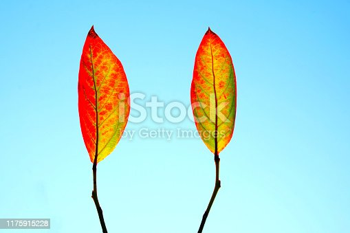 istock two orange and red leaves from a blueberry bush 1175915228