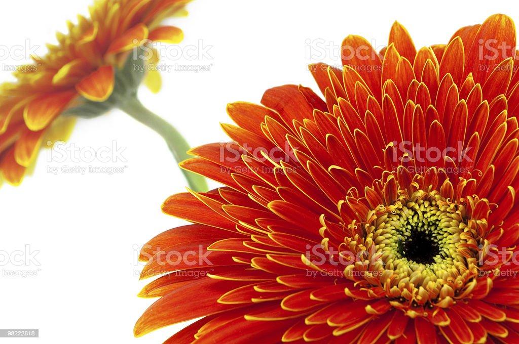 Two orange flowers royalty-free stock photo