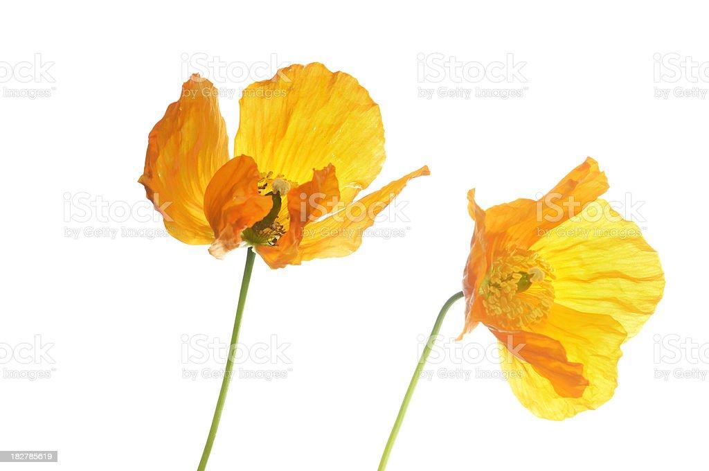 Two Orange Poppies royalty-free stock photo