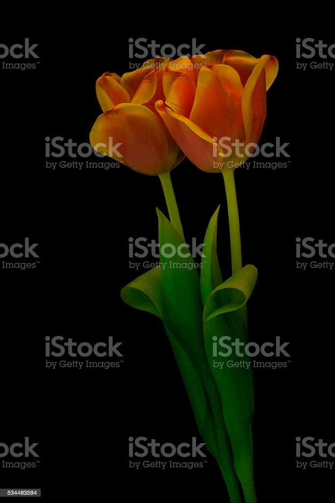 two orange tulips on a black background stock photo