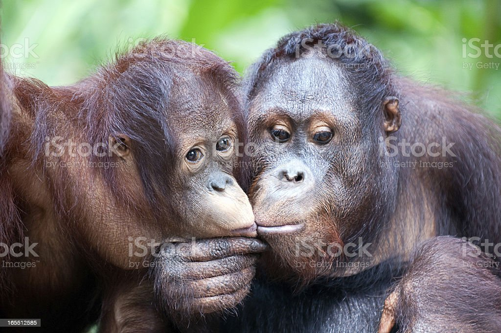 two Orangutans share intimate moment and kiss stock photo