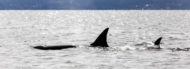 Zwei Orcas Lowrise – Foto