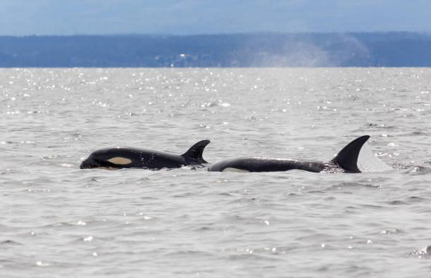 Zwei Orcas – Foto