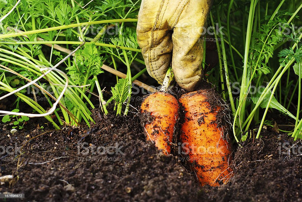 Two organic carrots being harvested from the soil stock photo