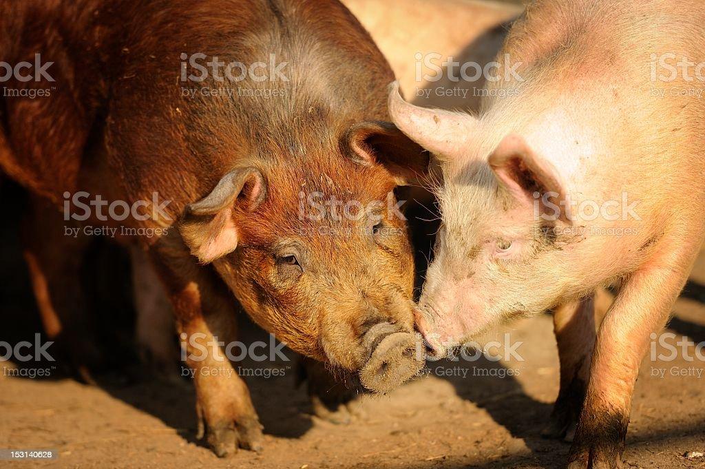 Two organic free-range pigs stock photo