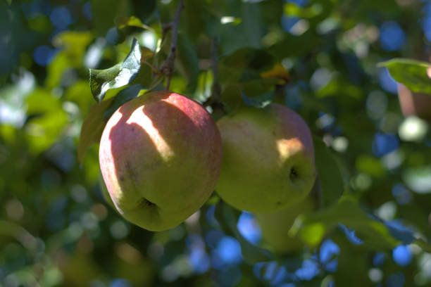 Two organically produced apples on a tree. stock photo