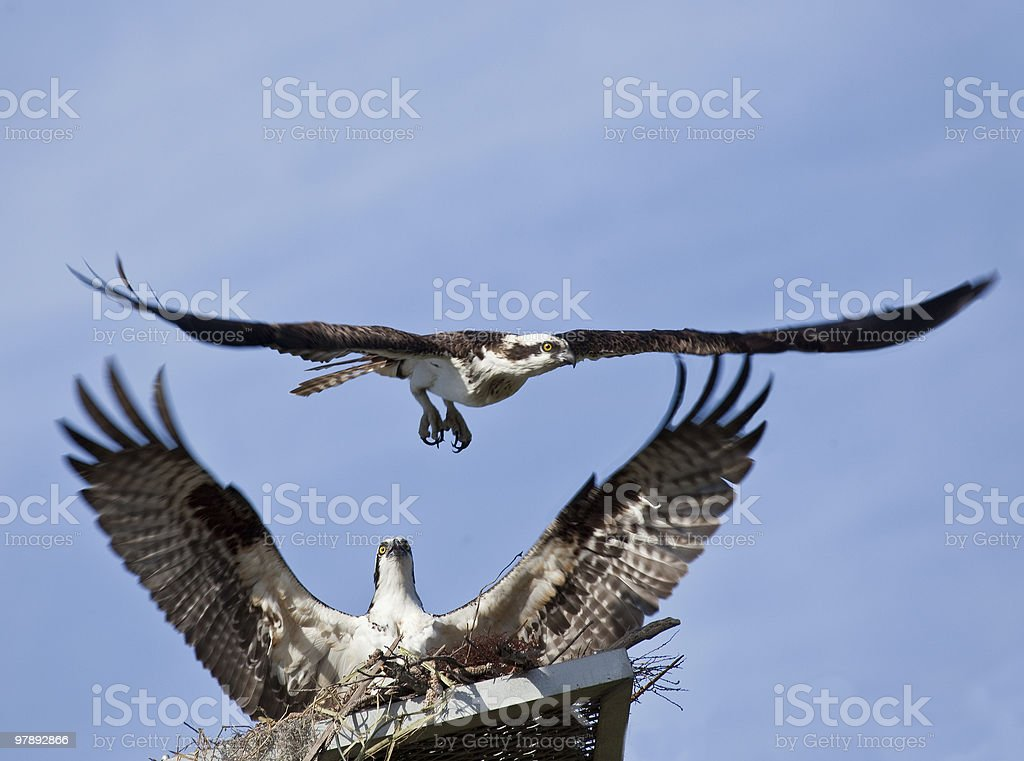 Two ospreys near nest with wings spread wide royalty-free stock photo