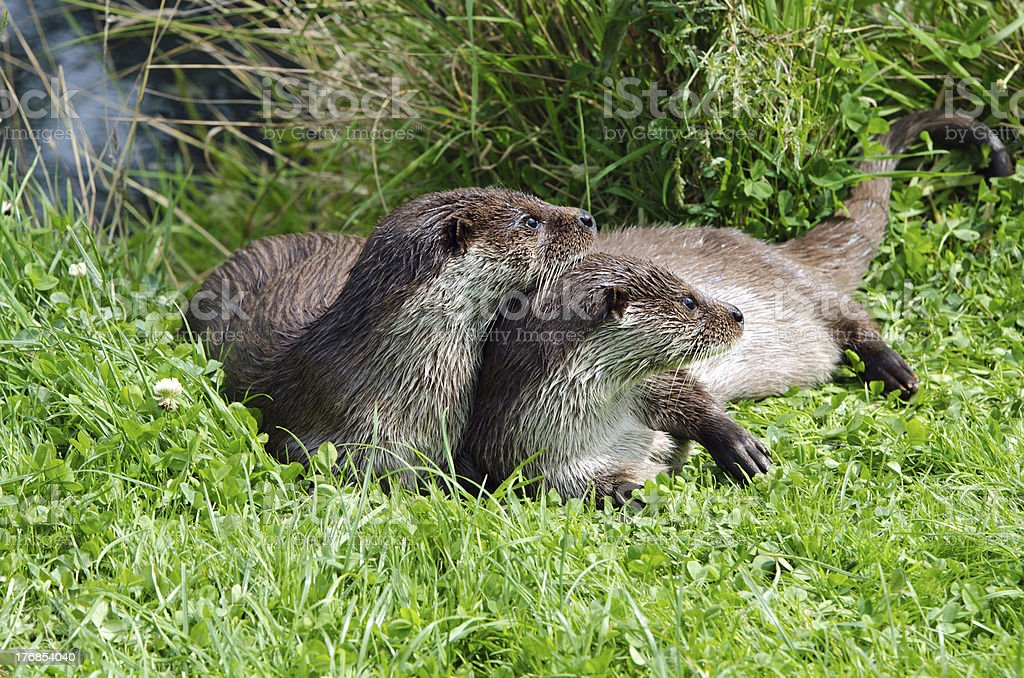 Two Otters Drying Off In the Sun stock photo