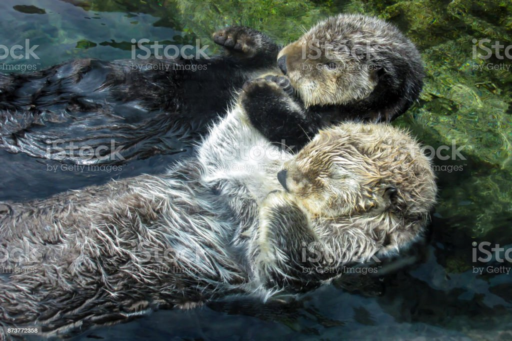 Two Otters Hold Paws and Float on Backs stock photo