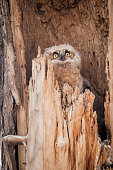 Two baby owls (owlets)