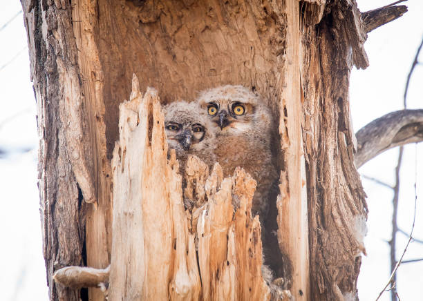 Two owlets in old tree nest picture id1138729153?b=1&k=6&m=1138729153&s=612x612&w=0&h=6ccbxqbgnb0gytsoxw2qdjjqty9pjusvjjg3c1zlwri=