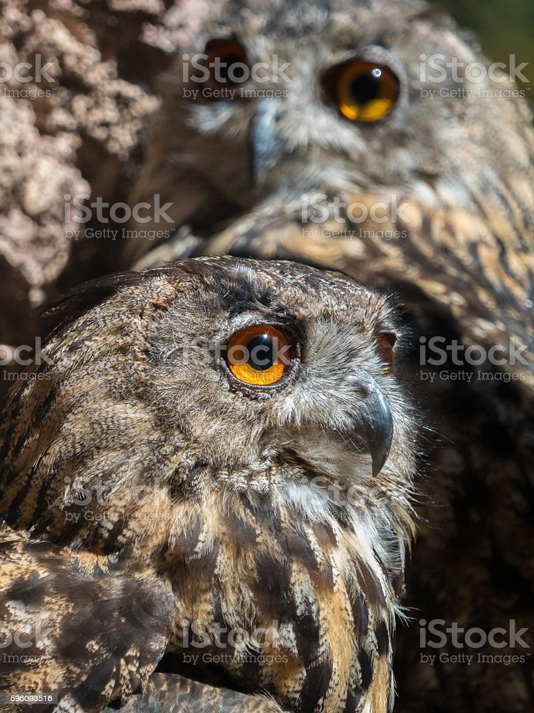 Two owls bubo bubo with yellow eyes royalty-free stock photo