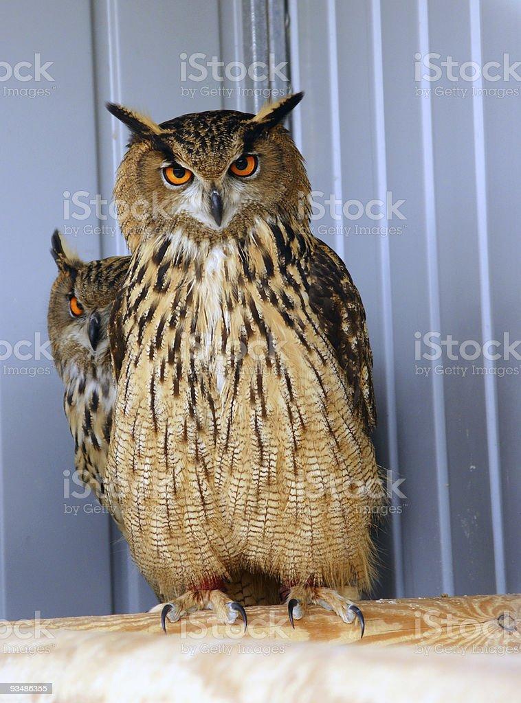 Zwei owls – Foto