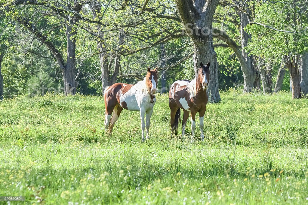 Two paint horses in a springtime pasture in Alabama stock photo