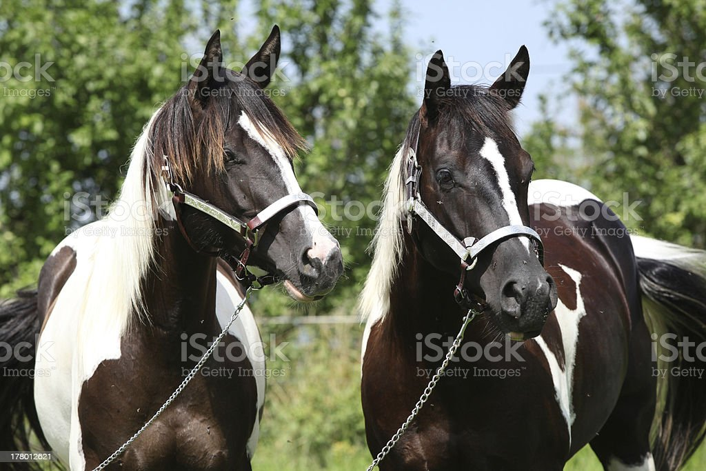 Two paint horses with halters stock photo