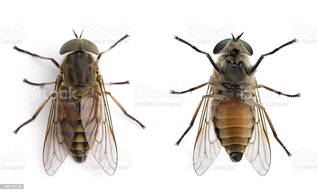Two pale giant horse flies against white background, studio shot stock photo