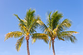 Two blooming Florida palm trees isolated against blue sky.