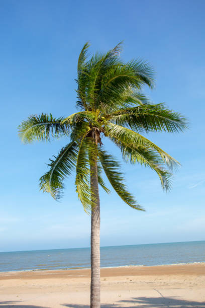 Two palm trees grow on empty sandy beach stock photo
