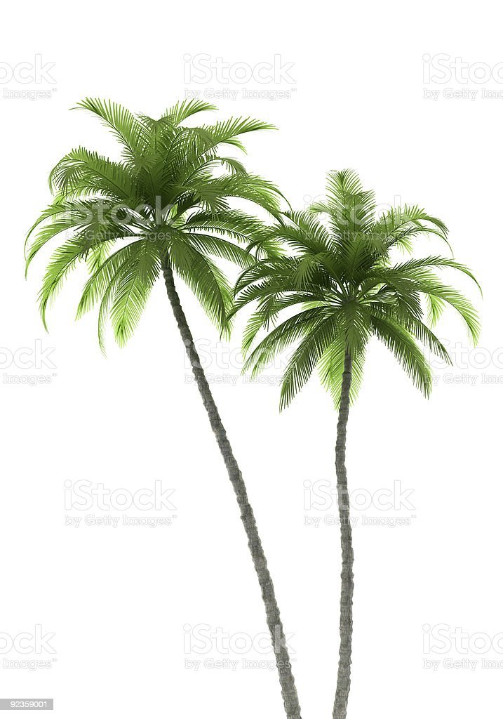 two palm trees isolated on white background with clipping path stock photo