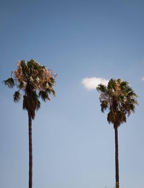 Dos palmeras con cluds y cielo - foto de stock